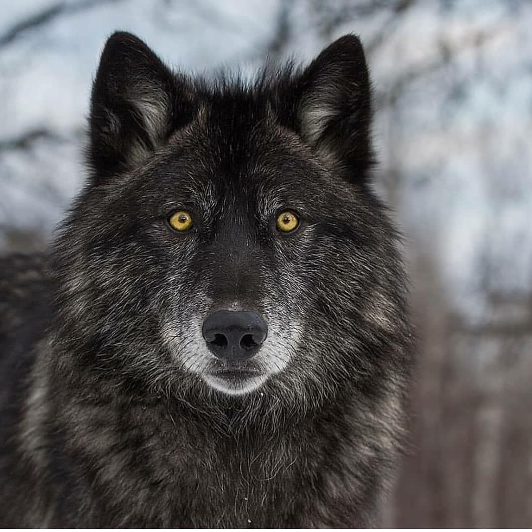 black wolf follow w1ldplanet for more photography cjm photography wolf blackwolf wolfs survive wolves photography wolf dog grey wolf photography black wolf follow w1ldplanet for