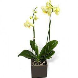 La Phalaenopsis appartiene alla famiglia delle 'Orchidee'. Può essere di vari colori: bianca, rosa, fucsia. Sicuramente una pianta particolare per chi ama distinguersi in eleganza.
