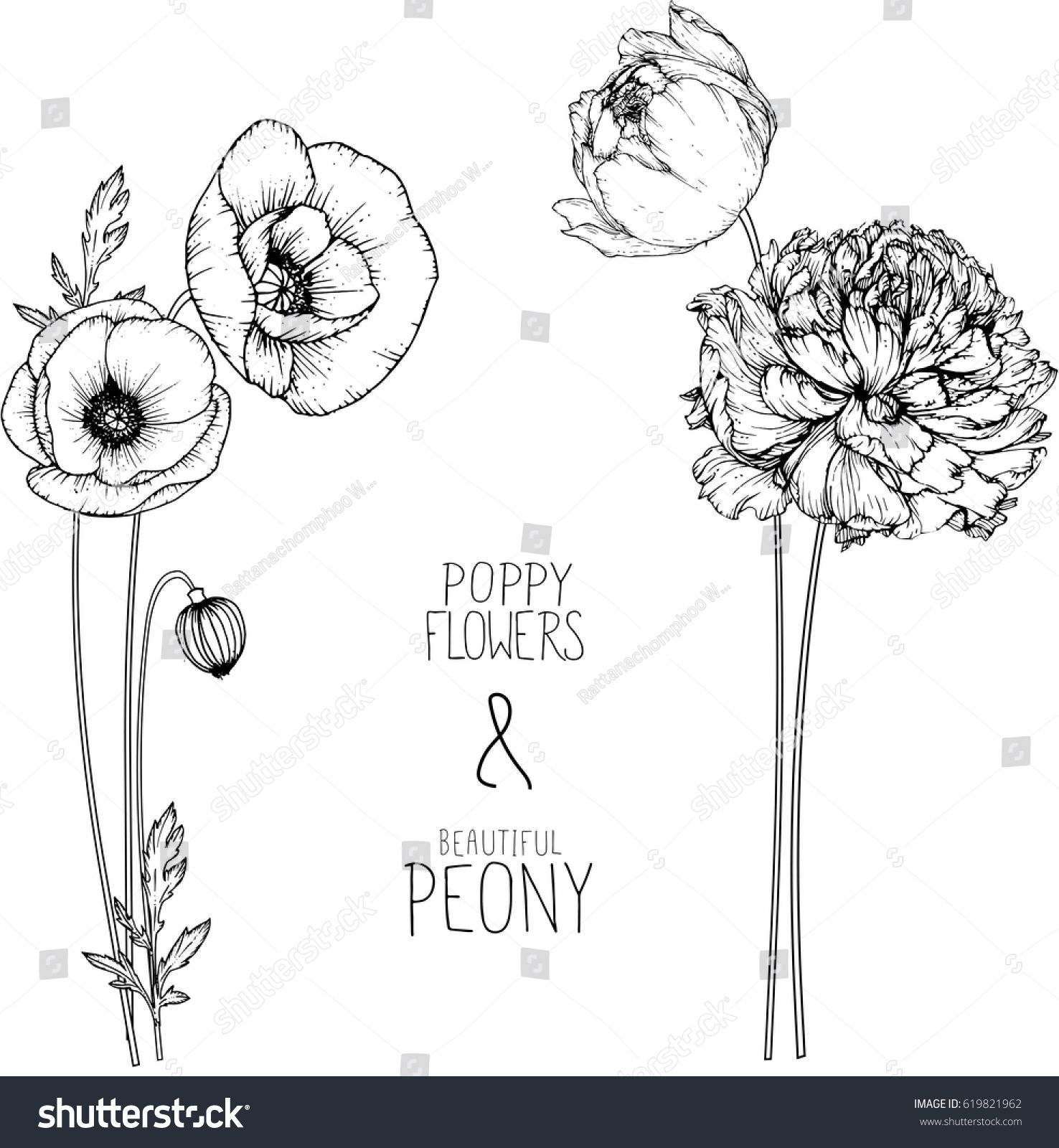 Flowers Drawing Peony And Poppy Flower Vector Illustration And Line