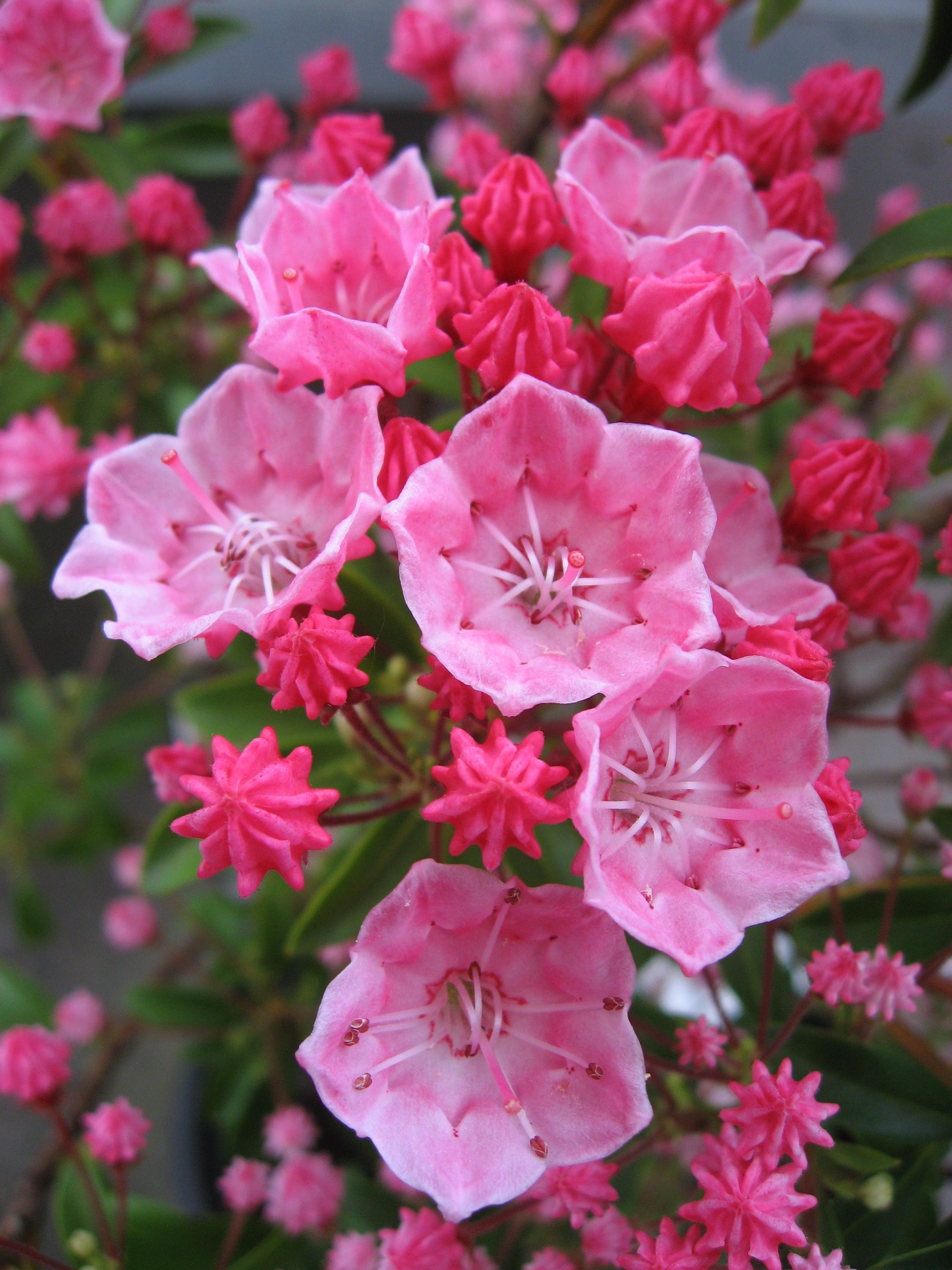 Tiddlywinks Dwarf Mountain Laurel Flowers make me happy Pinterest