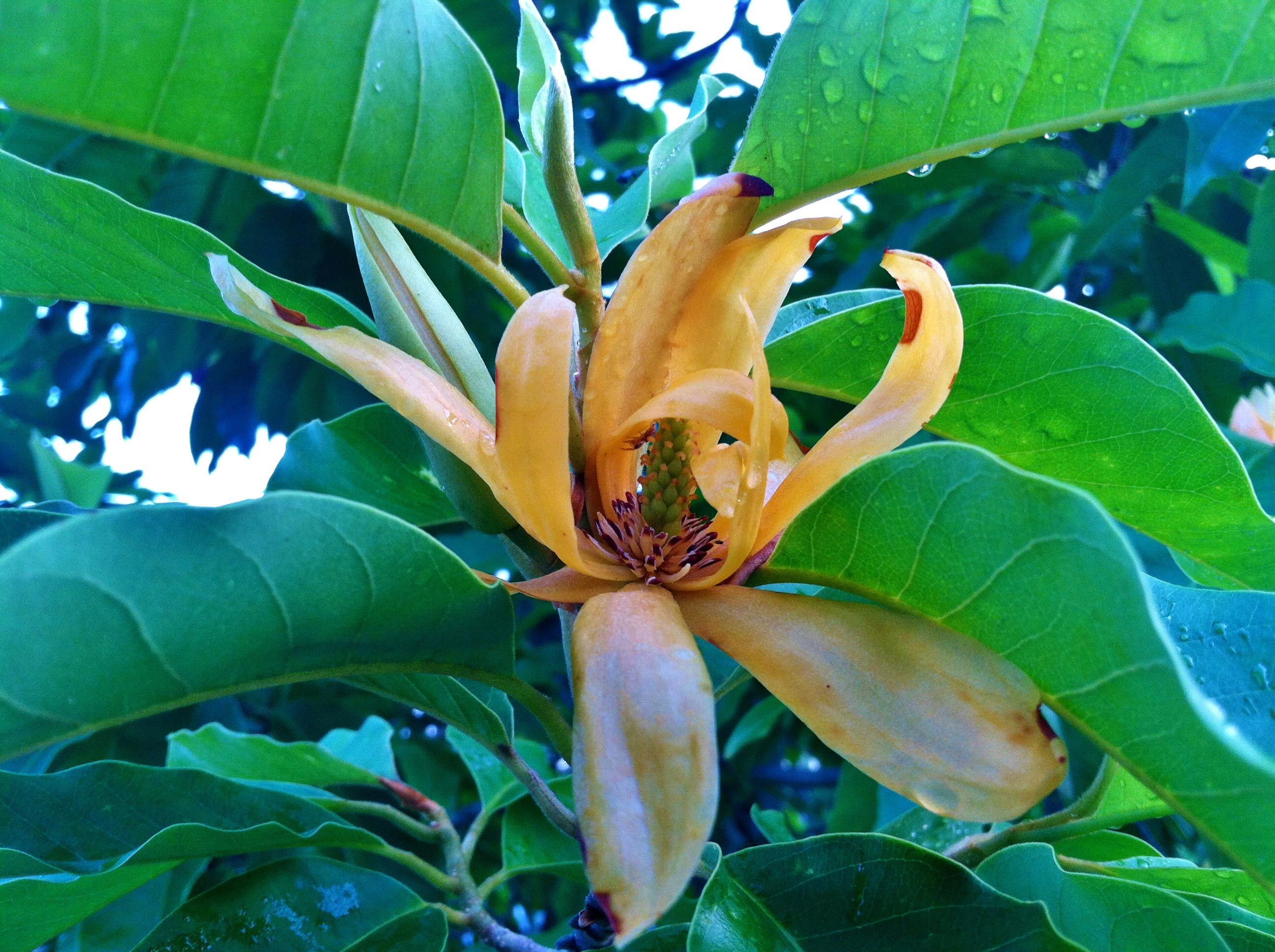 Golden Champaca bloom. (Magnolia champaca)   Edison & Ford Estates ...