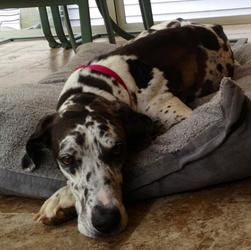 Adopt Stella Marie On Great Dane Rescue Harlequin Great Danes