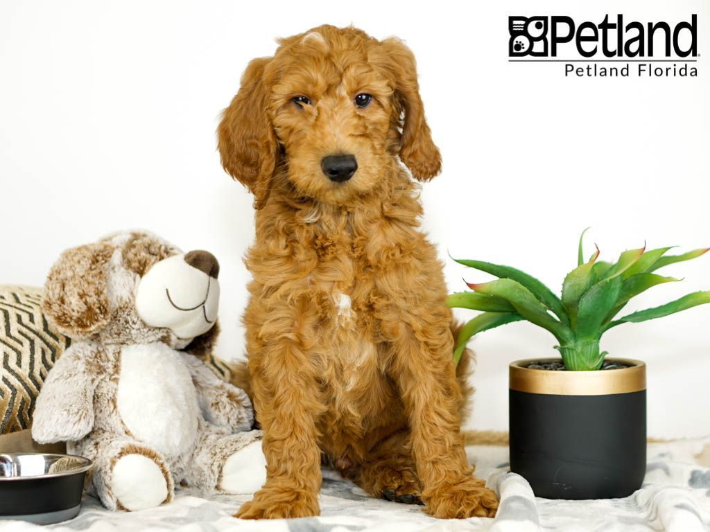 Petland Florida Has Goldendoodle Puppies For Sale Check Out All
