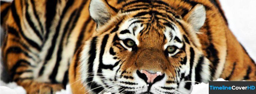 Tiger Hd 1080p Facebook Timeline Cover Facebook Covers Timeline