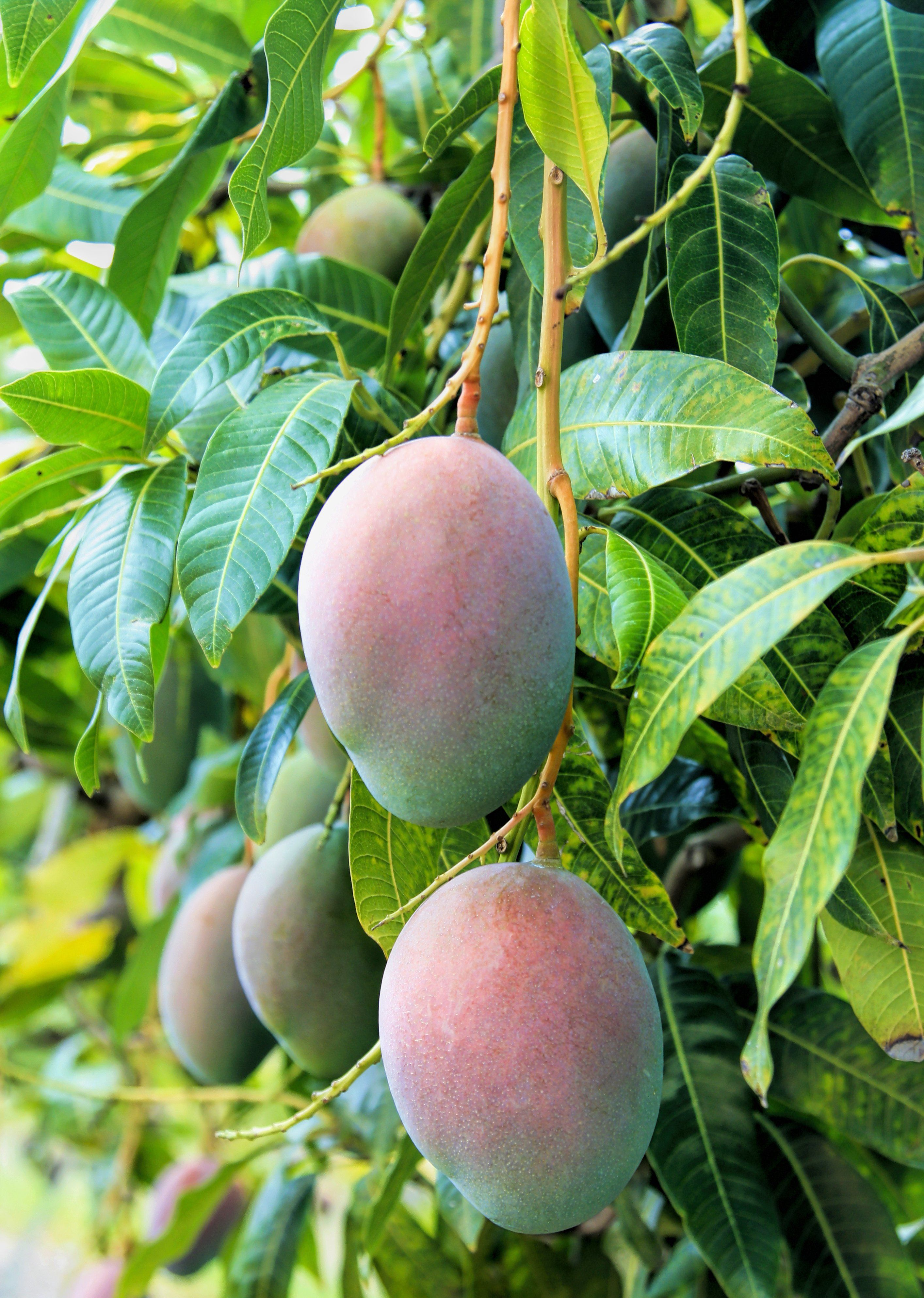 Mango Pickering Mangifera Indica Fruit Trees Fast Growing Trees Mango