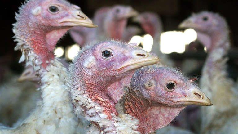 Bird flu confirmed at North Dakota turkey farm, 4 more in Minnesota http://fxn.ws/1DSxmHO