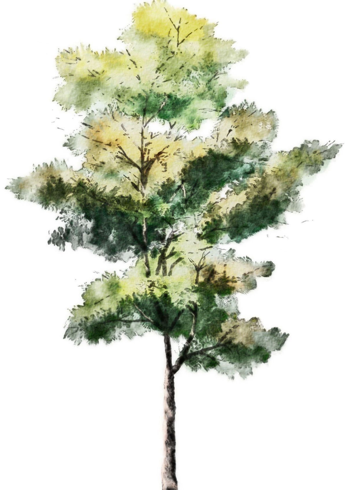 Tree Drawing With Watercolor Watercolor Art Softness And Warmth Illustrated Nature
