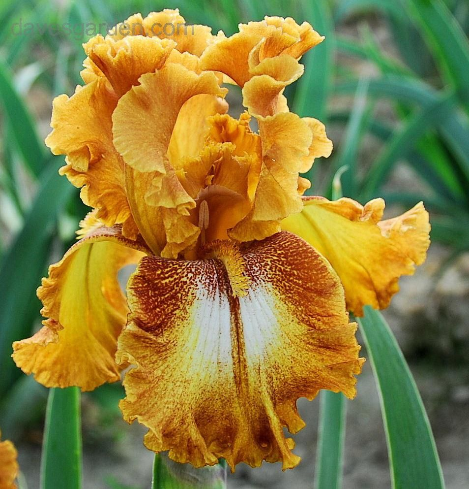 Tb iris germanica 39 yellow brick road 39 gibson 1993 - Iris germanica ...