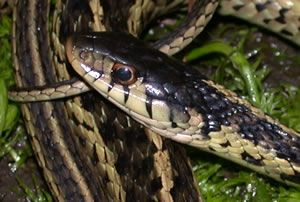 Species Profile Eastern Garter Snake Thamnophis Sirtalis Srel Herpetology Snake Species Melanism