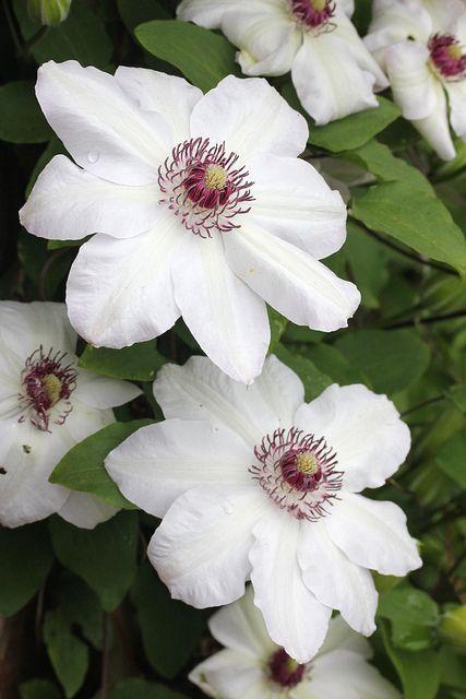 White Clematis Flowers   Kletterpflanzen, Pflanzen und Zuhause
