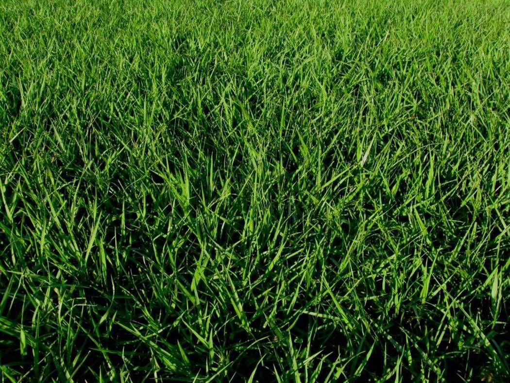 Highly allergic bahia grass is a low input warm season