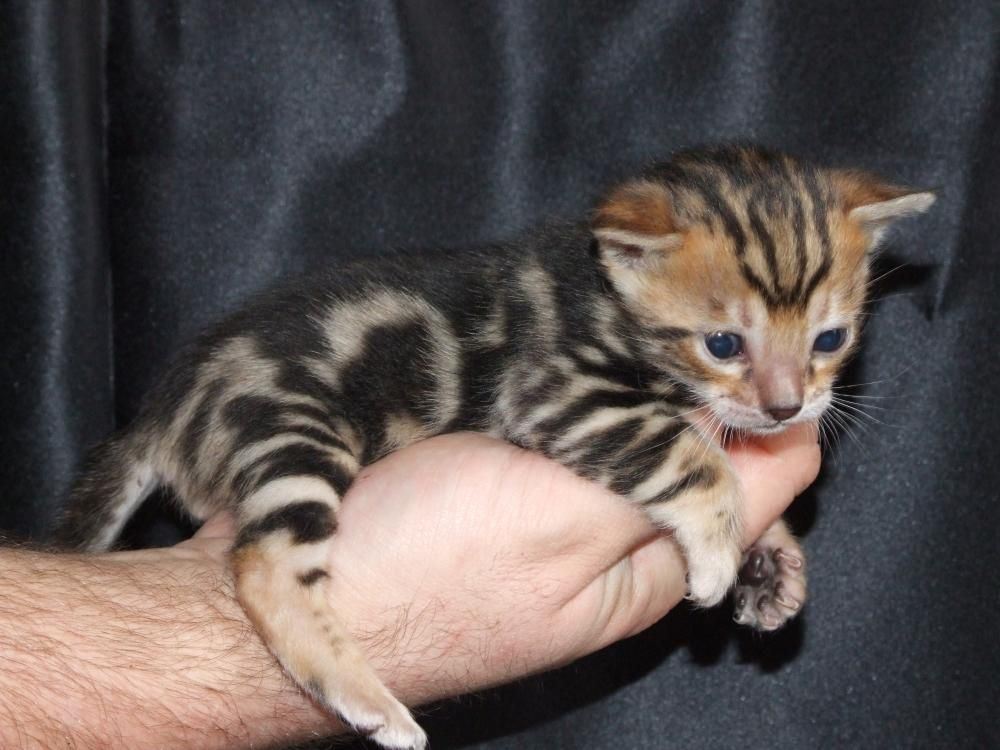 Bengal Kitten Great Cat Breed They Are Suppose To Like Water Too Bengal Kitten Bengal Kittens For Sale Cats And Kittens