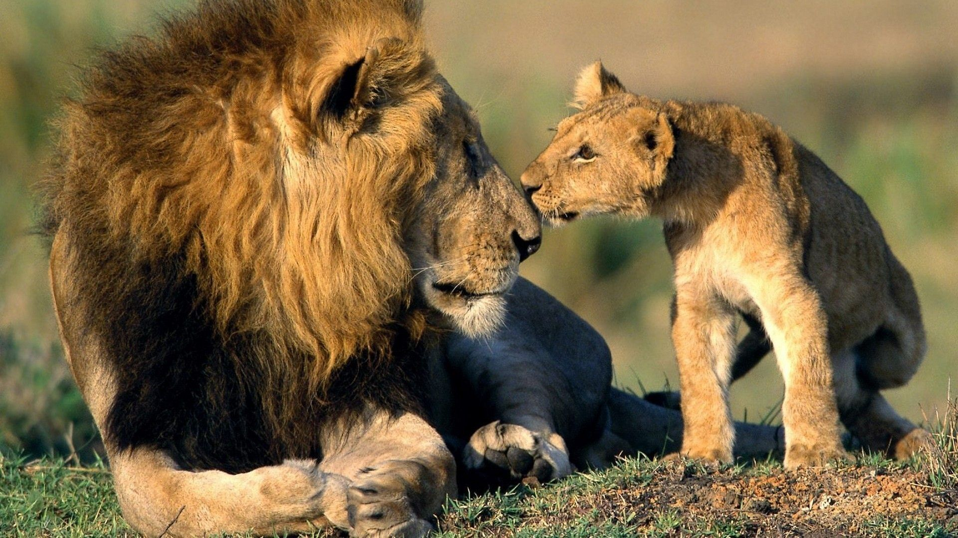 Lion With Cute Cub Hd Wallpaper Pets Animals Cute Animals Cats