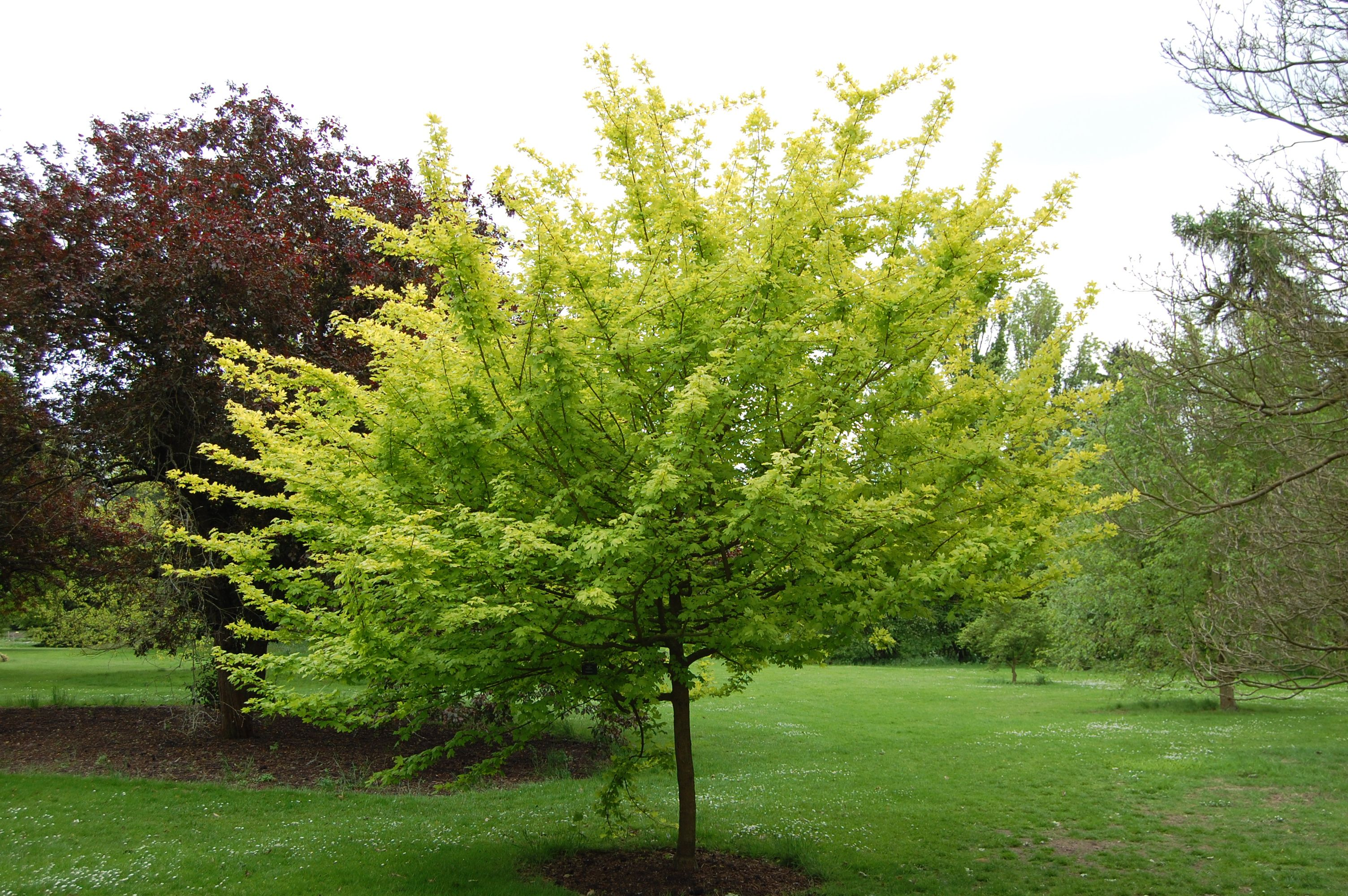 Acer campestre | Trees | Pinterest | Acer, Deciduous trees and Plants