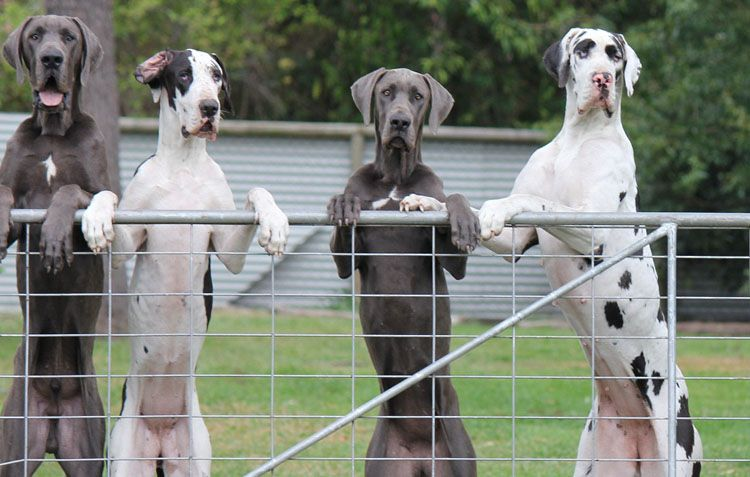 The Six Great Dane Colors Recognized By Breed Standard Dane Dog