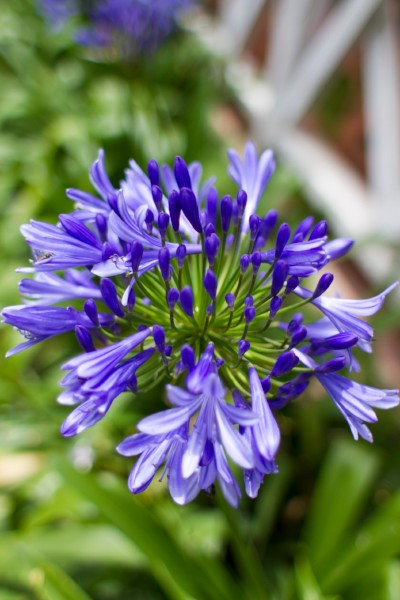 Agapanthus Flowers Also Referred To As Lily Of The Nile African Blue Lilly And African Lily Are One Of The Most In 2020 African Lily Agapanthus Agapanthus Africanus