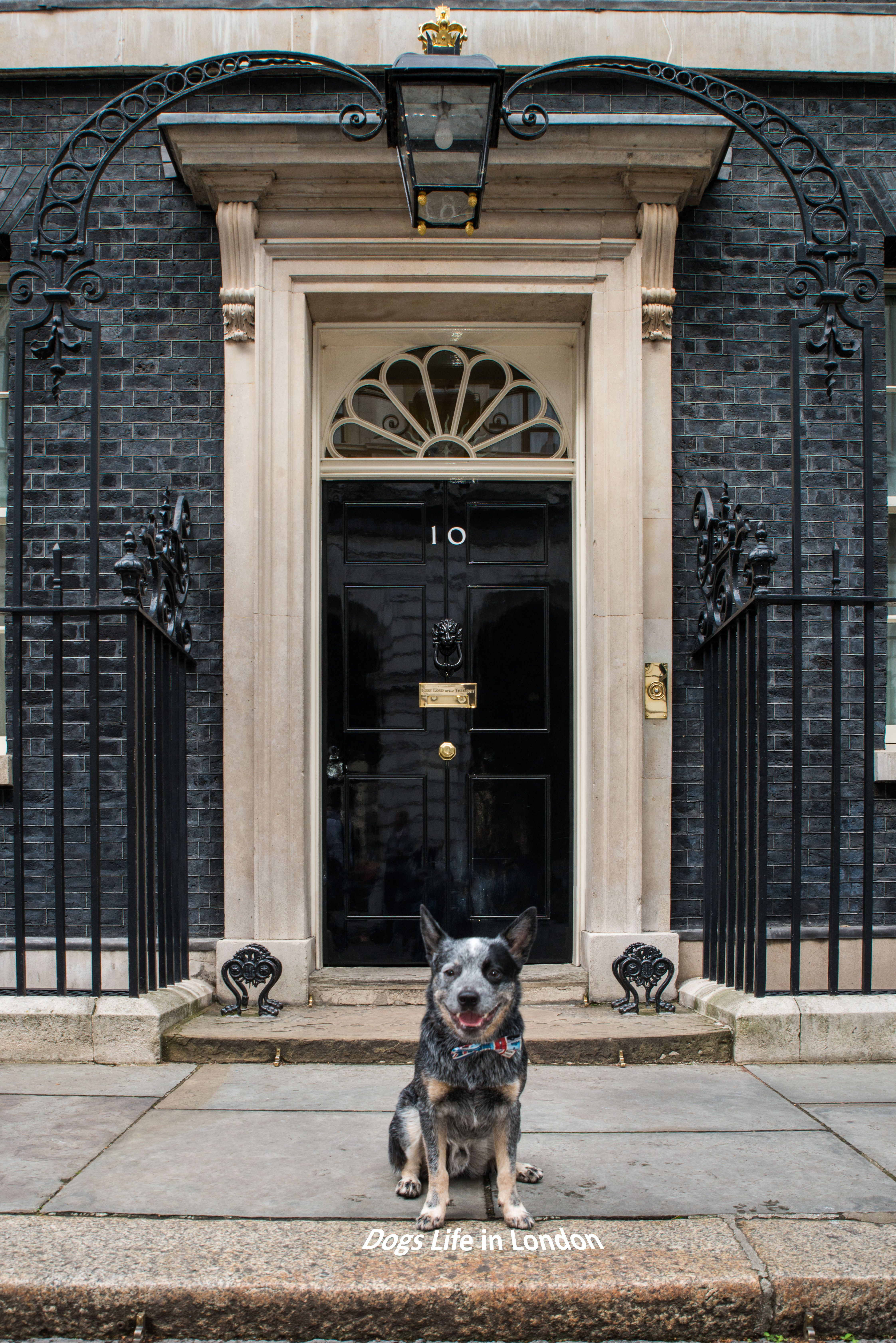 Rupert Was At 10 Downing Street London To Talk To The Pm About The Bone Tax Rupert Is Most Likely Austrailian Cattle Dog Blue Heeler Dogs Aussie Cattle Dog