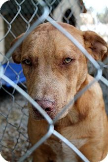 Rural Kill Shelter Please Adopt Or Rescue Sparta Tn Catahoula