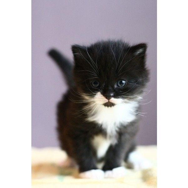 Adorable Black And White Kitten Cats Pinterest Liked On