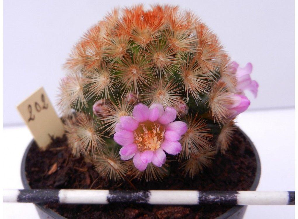 Mammillaria Carmenae Golden Cactus
