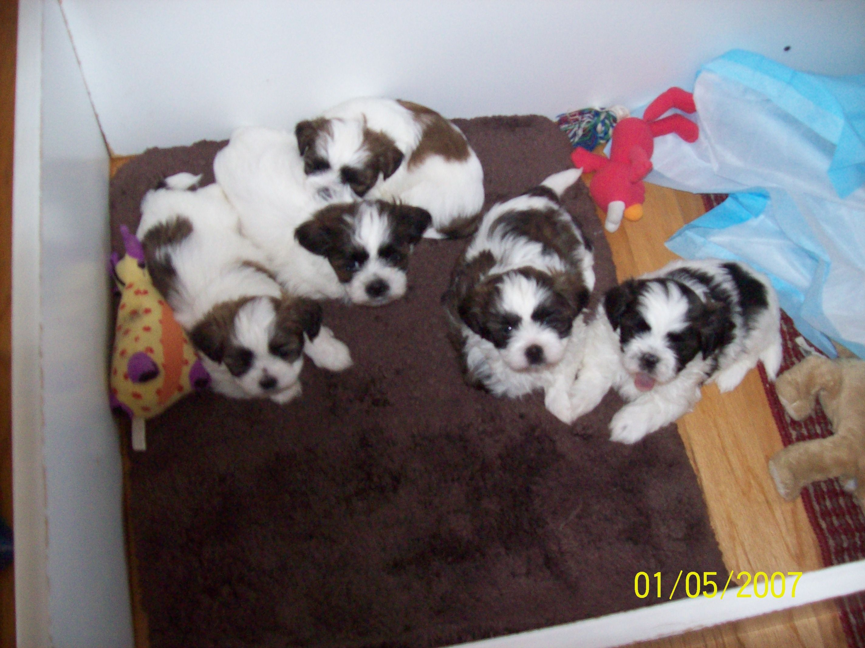 Teddy Bear Dogs For Adoption Teddy Bear Puppies FOR SALE