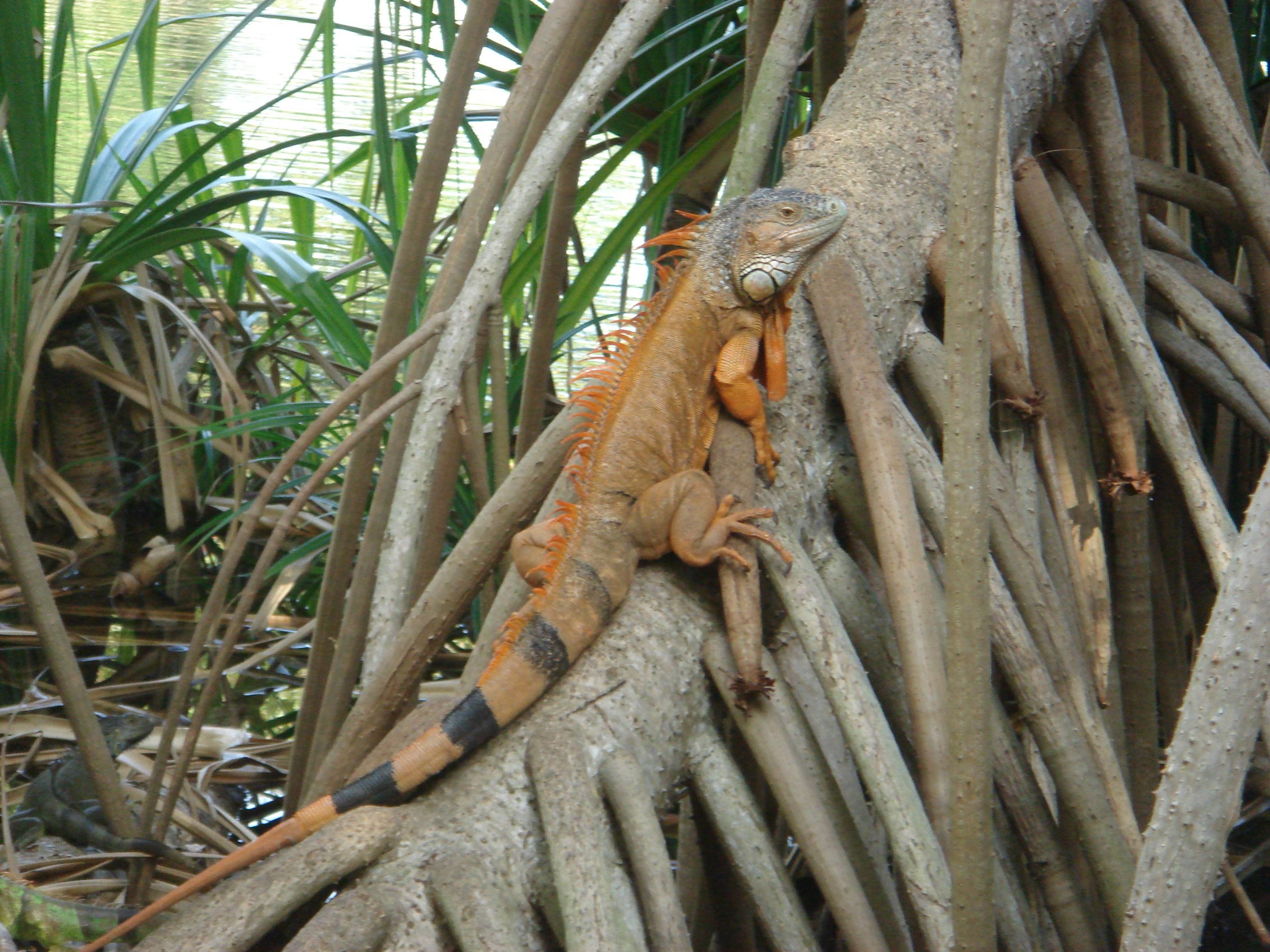 one of the many iguanas at Fairchild Tropical Garden   Where I live ...