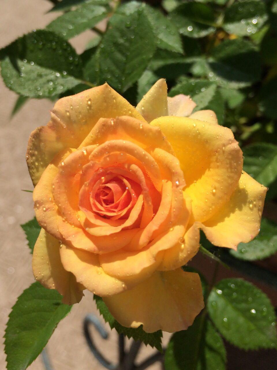 Yellow Rose Beautiful Flowers Beautiful Roses Yellow Roses