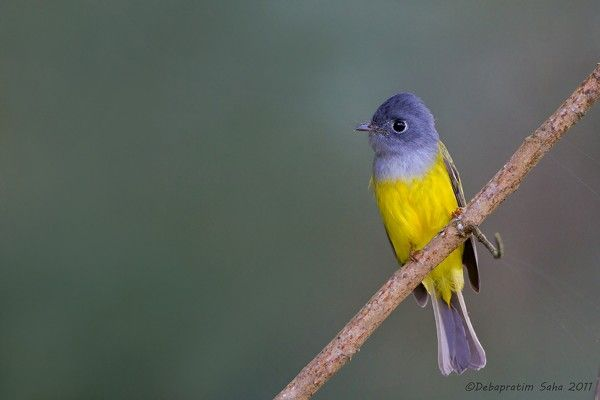 Canary flycatchers are restricted to SE Asia where they breed in upland to montane oak and other broad-leaved forests in temperate to tropical S Asia, from Pakistan, India and Sri Lanka to Indonesia and S China.