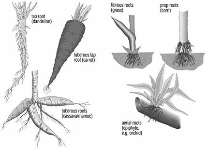 root Types of root. Many flowers (dandelion) and ...