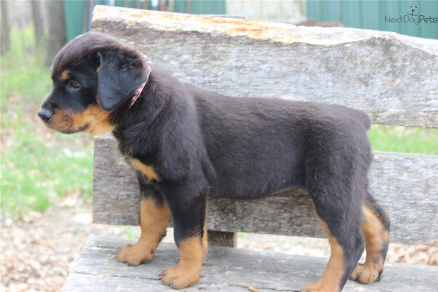 Akc German Rottweiler Female Sadie Rottweiler Puppies Rottweiler Puppies For Sale German Rottweiler