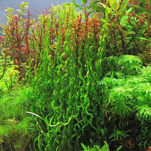 Echinodorus Angustifolia Vesuvius Planted Aquarium Water Plants Plants