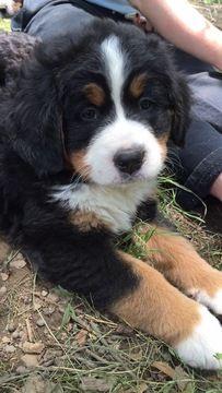 Litter Of 7 Bernese Mountain Dog Puppies For Sale In Millersburg Oh Adn 33383 On Puppyfinder Co Bernese Mountain Dog Mountain Dogs Bernese Mountain Dog Puppy