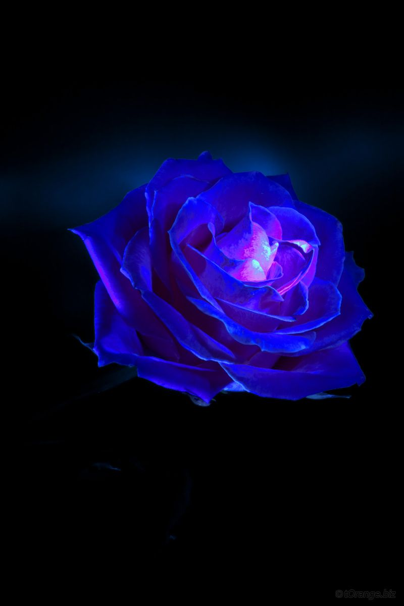 Free Pictures Blue Rose From Www Torange Us Flower Blue