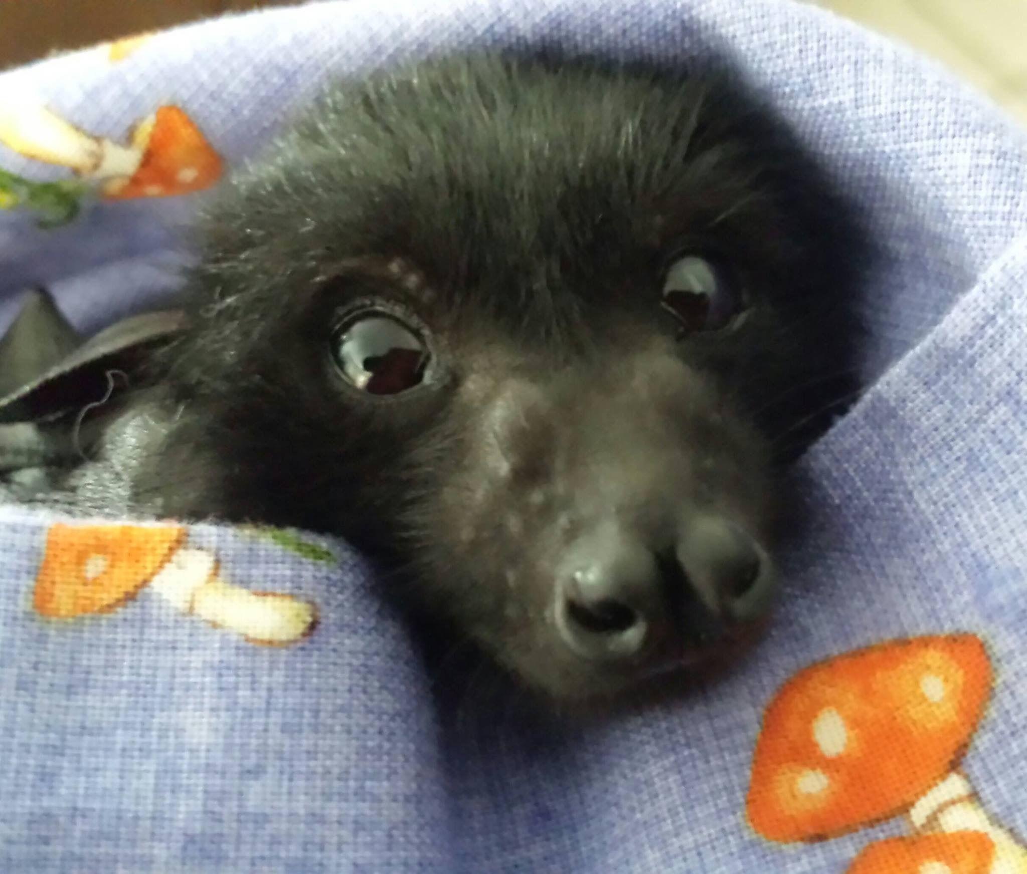 baby flying fox bat australia aaaawwww pinterest bats