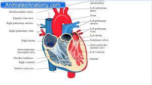 heart anatomy - Google Search | Heart anatomy, Anatomy ...