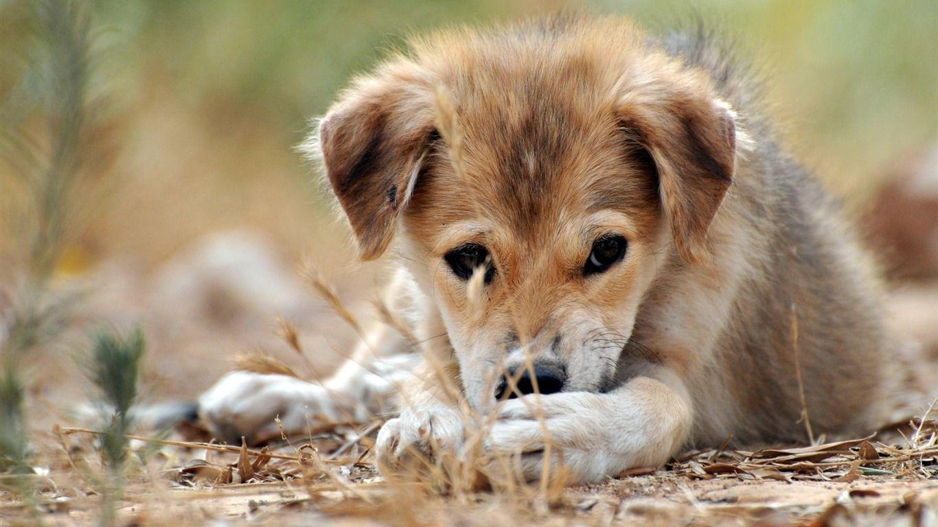 Chien Peint triste chiot-animal chien papier peint de bureau - 1366x768 fond d