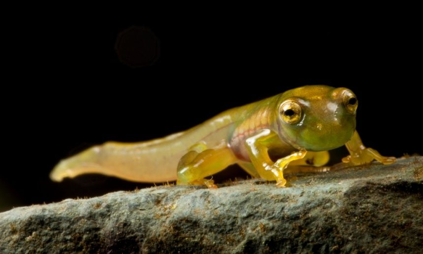 A newly metamorphosed Emerald Glass Frog, Espadarana prosoblepon, in the Choco of Colombia.