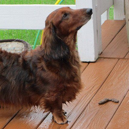 Julian Handsome Long Hair Dachshund Available For Adoption With