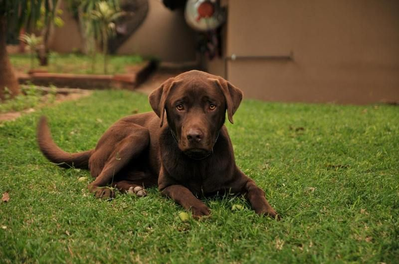 Easiest Dog Breeds To Train Top 12 Listed Here Labrador Retriever Dog Breeds Labrador Dog
