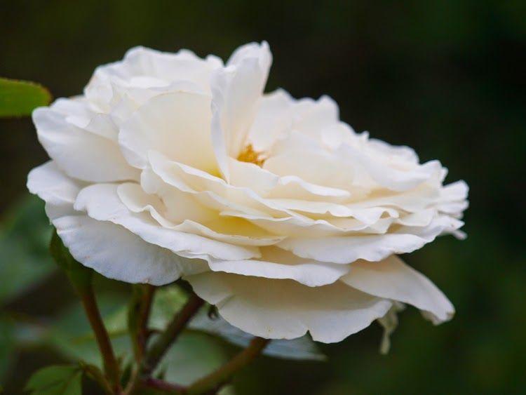 Weisse Wolke er en sund hvid rose