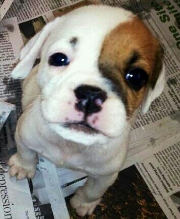 Beagle Bulldog Mix Adorable Aminals Beagle Mix Puppies