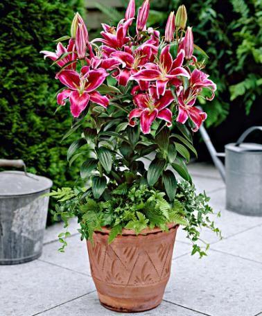 Lilien pflanzen und blumen kaufen holz garten - Balkongarten anlegen ...
