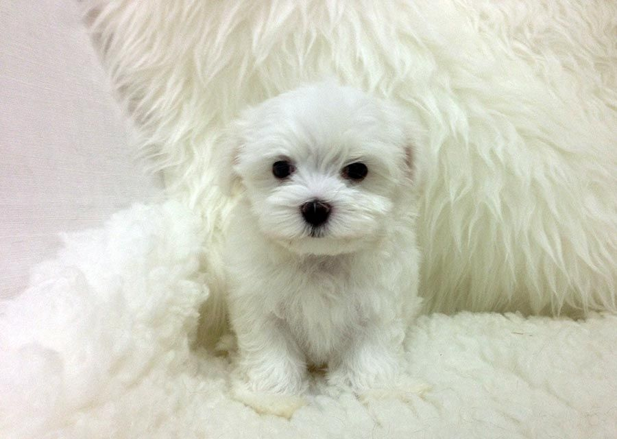 Www Staryorkie Com Tiny Teacup Maltese Baby For Sale Los Angeles Arizona Teacup Maltese Puppies Www Staryorkie Com