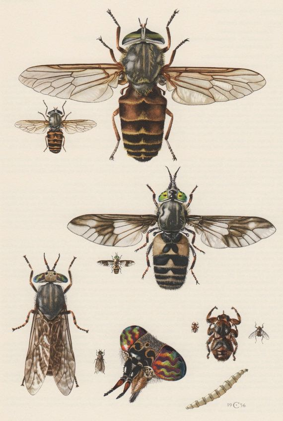 Image result for horsefly illustration