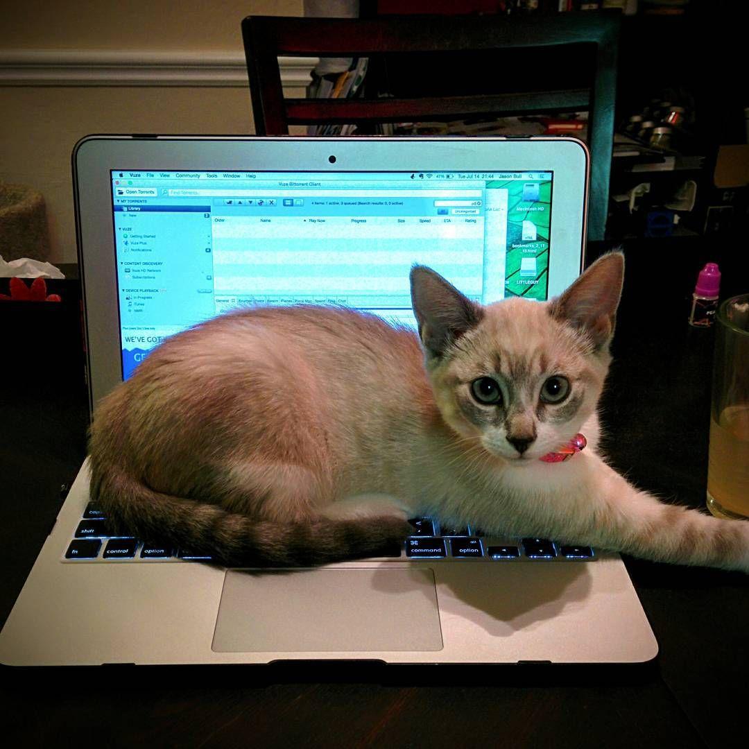 Ah So The Kitten Has Discovered The Delights Of Sitting On Laptops Oh Dear Cat Kitty Kitten Laptop Keyboard Sitting Kitten Pet Portraits Cats