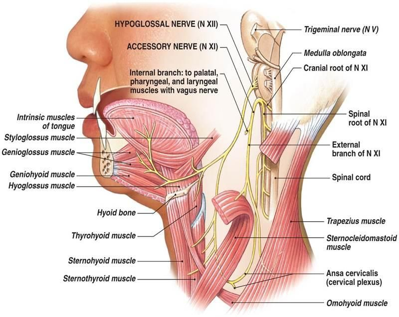 Pin By Julie Sims On Cranial Nerves Pinterest Cranial Nerves And