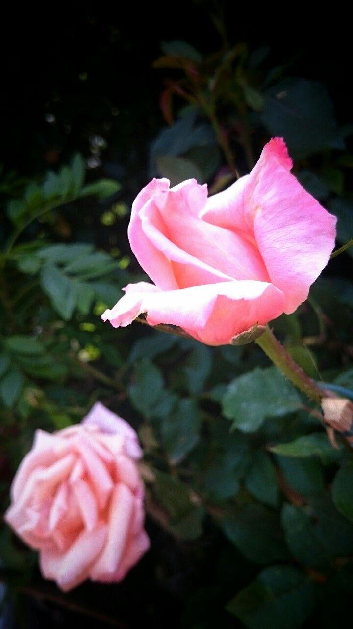Rosas charmosas de visita no jardim.
