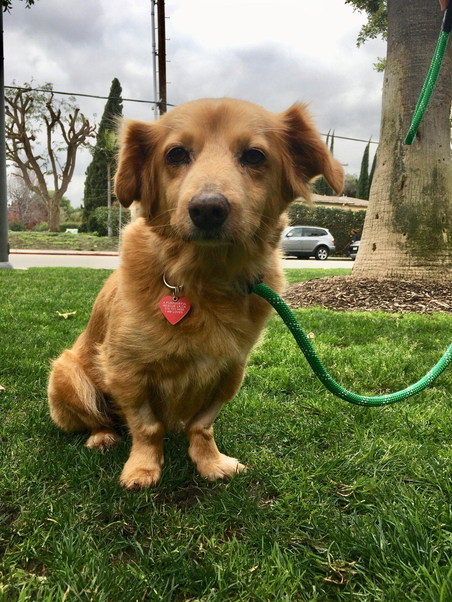 Buy Golden Retriever Puppy Los Angeles Ideas