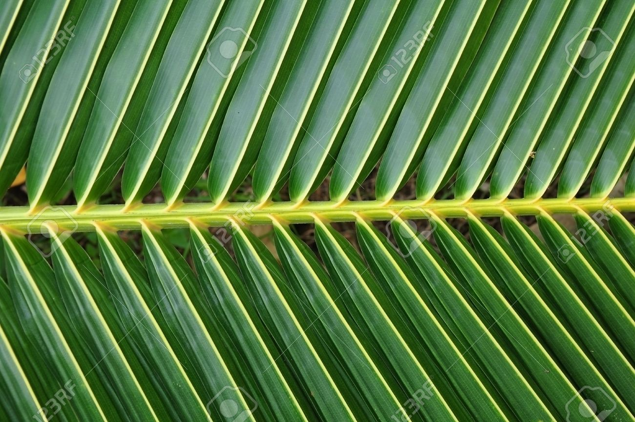 Image result for Coconut Tree leaves | oahu | Leaf images ...