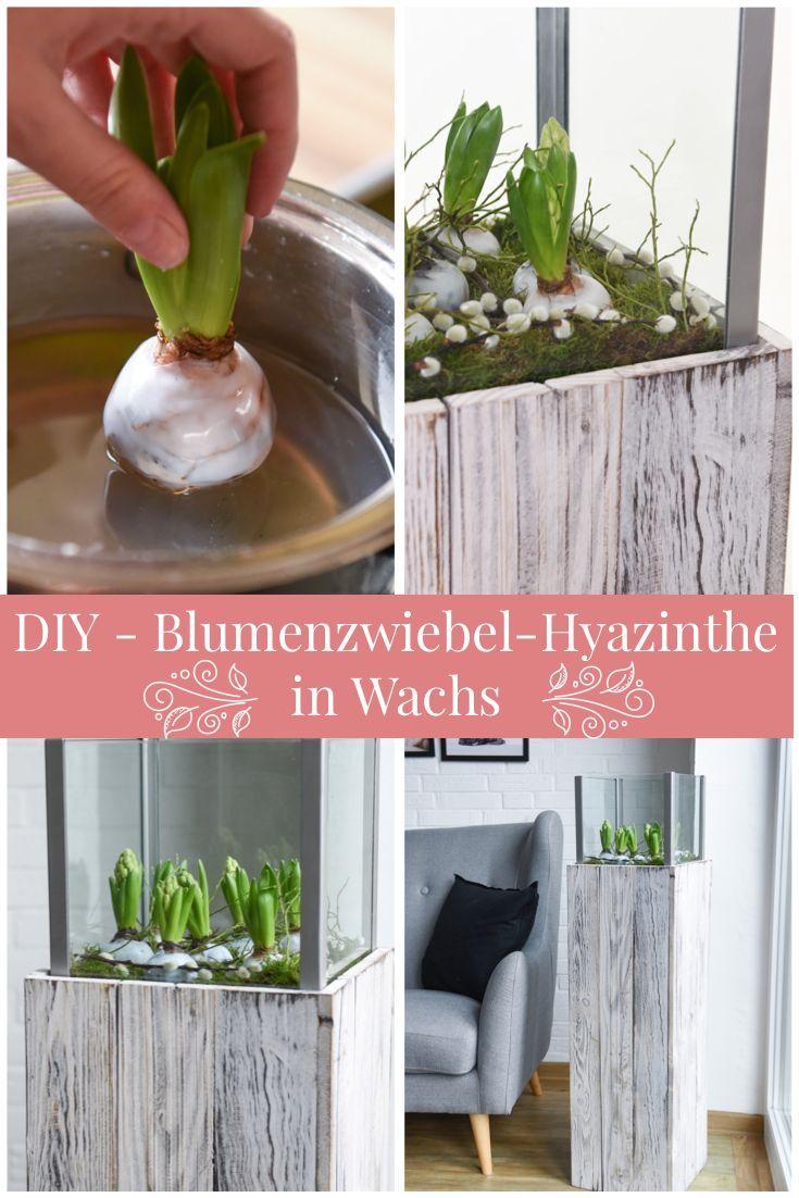 Photo of DIY – Hyazinthen: Wachs-Blumenzwiebeln für Frühlingsdekorationen